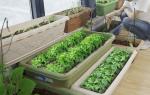 Как организовать огород на балконе, что выращивать на балконе