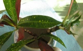 Размножение кротона черенками, как правильно делать, видео