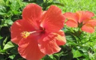 Гибискус сирийский или садовый — размножение делением куста, видео