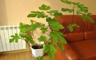 Инжир правила выращивания в комнатных условиях, пересадка, полив, видео
