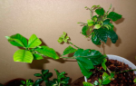 Почему у гардении ржавеют кончики листьев и что делать