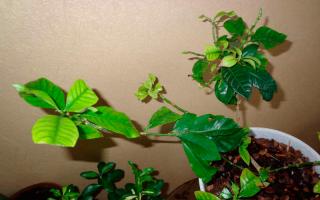 Бледнеют листья у гардении: почему так бывает и что делать, видео
