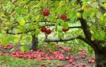 Какие удобрения вносить осенью под плодовые деревья, видео