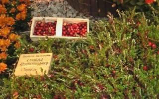 Выращивание клюквы на даче — выбор места, подготовка почвы, правила посадки, видео
