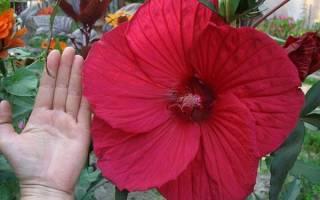Гибискус травянистый — особенности вегетации, сроки посева и сбора семян, видео