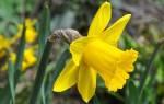 Нарциссы — посадка и уход в открытом грунте, когда сажать, как ухаживать, чем подкормить, видео
