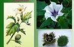 Применение дурман-травы в народной медицине, польза, видео