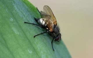 Чем обработать ирисы от ирисовой мухи, признаки наличия вредителя, видео