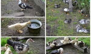 Утки в домашних условиях — разведение, выращивание, правила содержания, видео