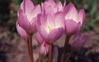 Лечебные свойства безвременника осеннего , семена, настойка, видео