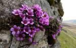 Виды и сорта камнеломки — маньчжурская, теневая, восходящая, видео