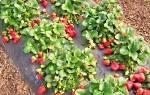 Как посеять семена клубники, чтобы получить хороший урожай + видео