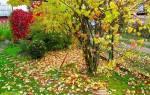Октябрь в саду- сбор позднего урожая, подготовка деревьев к зиме, видео