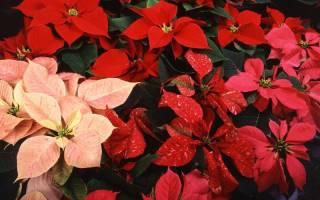 Как называется новогодний цветок с красными листьями (пуансеттия)
