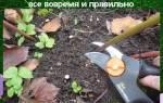 Когда обрезать пионы осенью, на зиму в Сибири, средней полосе