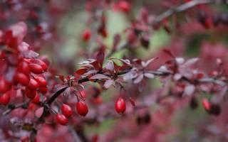 Применение барбариса в кулинарии, листья и ягоды