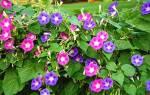 Ипомея пурпурная райские звезды — посадка и уход, фото, видео