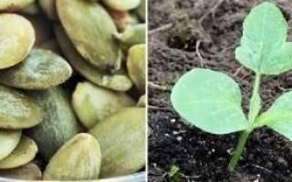 Когда сажать тыкву: сроки посадки рассады и посева сразу в грунт, видео