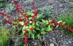 Земляничный шпинат — выращивание, вкус ягод, посадка и уход, видео
