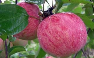 Яблоки — обзор летних сортов для выращивания на юге России, видео