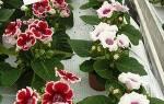 Глоксиния из семян — уход и выращивание в домашних условиях, как правильно посадить, видео