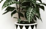Домашняя афеландра — размножение цветка в домашних условиях, фото, видео