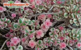 Очиток — посадка и уход в саду, использование видного, едкого, пурпурного, почвопокровного, ложного очитка в дизайне сада, фото, видео
