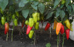 Перец болгарский — правила ухода для получения высокого урожая, видео