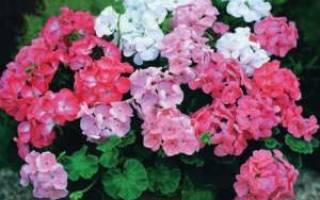 Почему не цветет герань комнатная в домашних условиях, чем подкармливать растение и как заставить цвести, видео