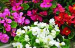 Бегония цветы — фото и описание видов и сортов для домашнего выращивания, видео