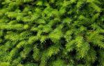 Ели — как быстро растут, обзор карликовой голубой, колючей Глаукома, Глобоза, фото, видео