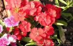 Гвоздика травянка — шабо, китайская, турецкая, садовая, полевая, иглолистная, посадка и уход, видео