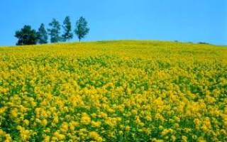 Горчица как удобрение — посев для почвы, видео
