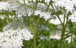 Лекарственные растения — тысячелистник обыкновенный, описание, видео