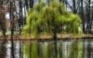 Плакучая ива — фото декоративного, карликового дерева, описание, посадка и уход, видео