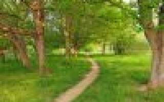 Дерево ясень — описание и фото, выращивание в саду, видео