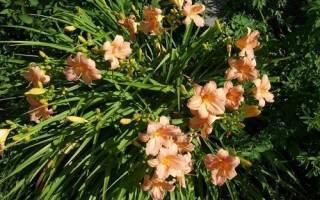 Лилейник Чилдренс Фестивал: описание сорта, выращивание, видео