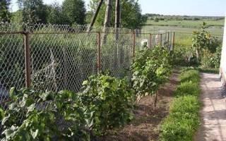 Смородина: выращивание и уход в Сибири, лучшие зимостойкие сорта, видео