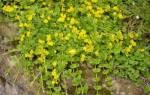 Вербейник монетчатый, описание и выращивание, видео
