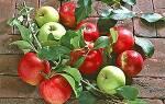 Как правильно провести окулировку яблонь летом с древесиной и без древесины + видео