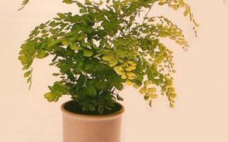 Комнатный адиантум — чернеют и сохнут листья, не растет, болезни, фото, видео