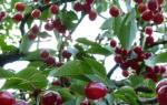 Вишня Молодежная — описание сорта, особенности агротехники, использование опылителей, фото, видео