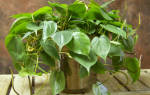 Филодендрон — выращивание дома, освещение, влажность воздуха и полив, удобрение, пересадка и выбор почвы, видео