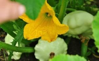 Патиссоны — выращивание через рассаду, сроки посева семян, видео