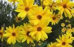 Топинамбур на дачном участке — удобрения и полив для хорошего урожая, видео