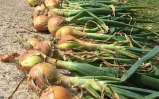 Лук эксибишен выращивание через рассаду