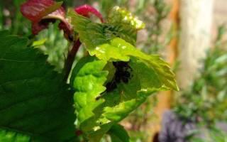 Тля на вишне — как избавиться, чем обработать вишневую тлю, использование народных средств, видео