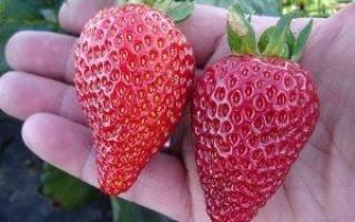Ранние, поздние и круглогодичные сорта клубники – тонкости выращивания