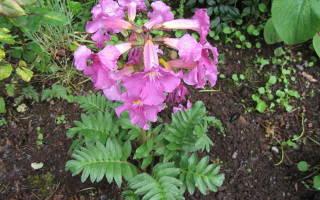 Инкарвиллея делавея — посадка, выращивание, уход в открытом грунте, видео