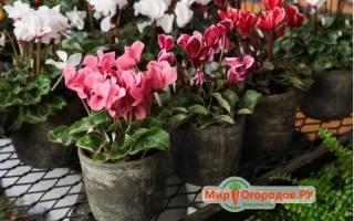 Размножение цикламена семенами — опыление цветков, сбор семян, посев, уход за саженцами, видео